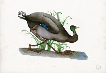 Mallard - artist signed print